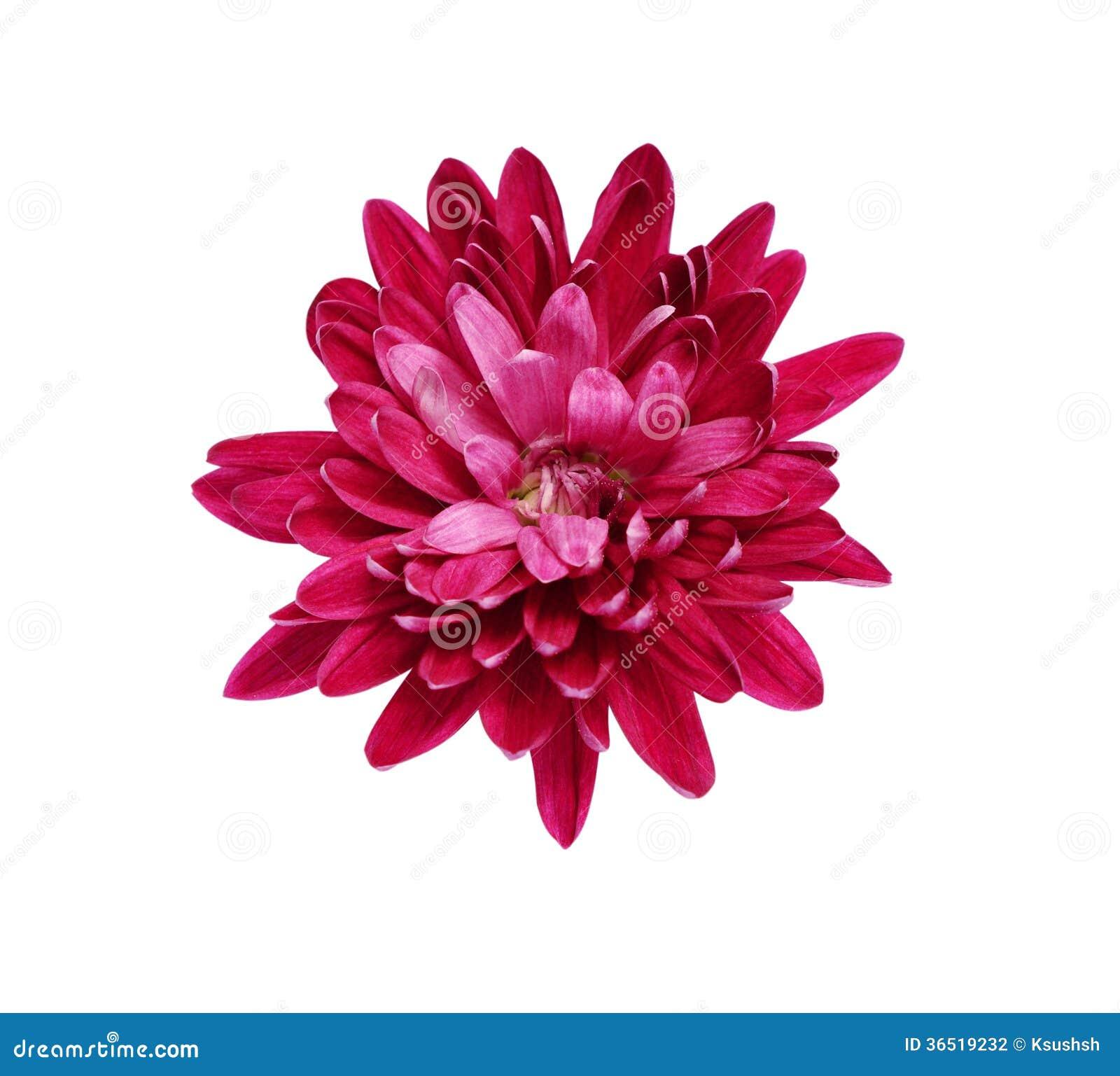 Aster rose