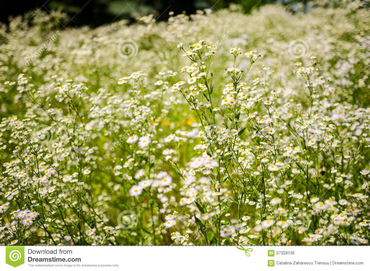 Aster White Flowers In The Forest Stock Photo Image Of Annuus