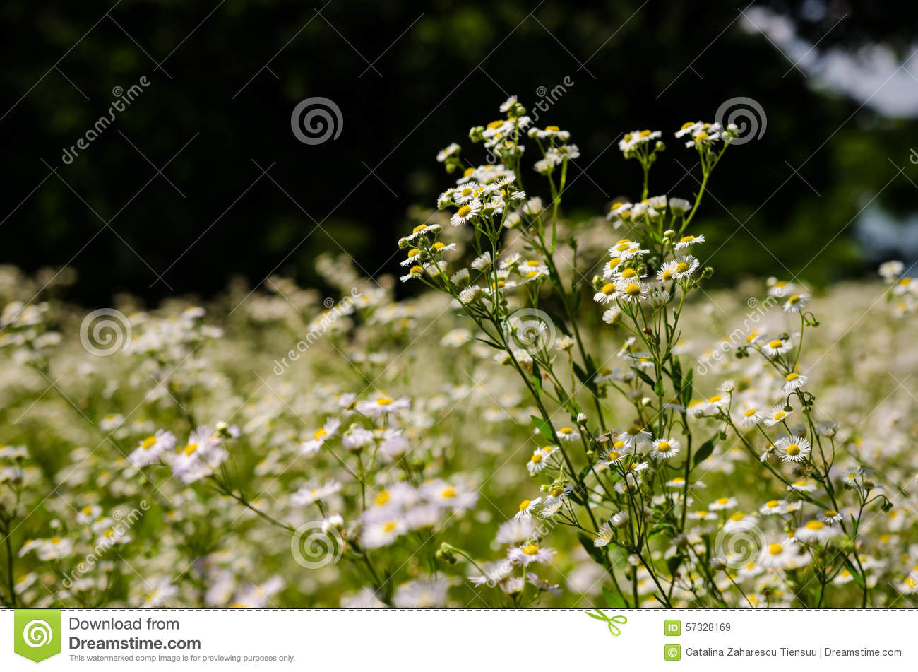 Aster White Flowers In The Forest Stock Image Image Of Flower