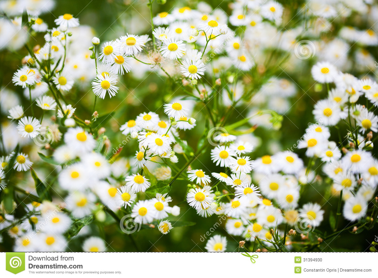 aster white flowers stock photo  image, Beautiful flower