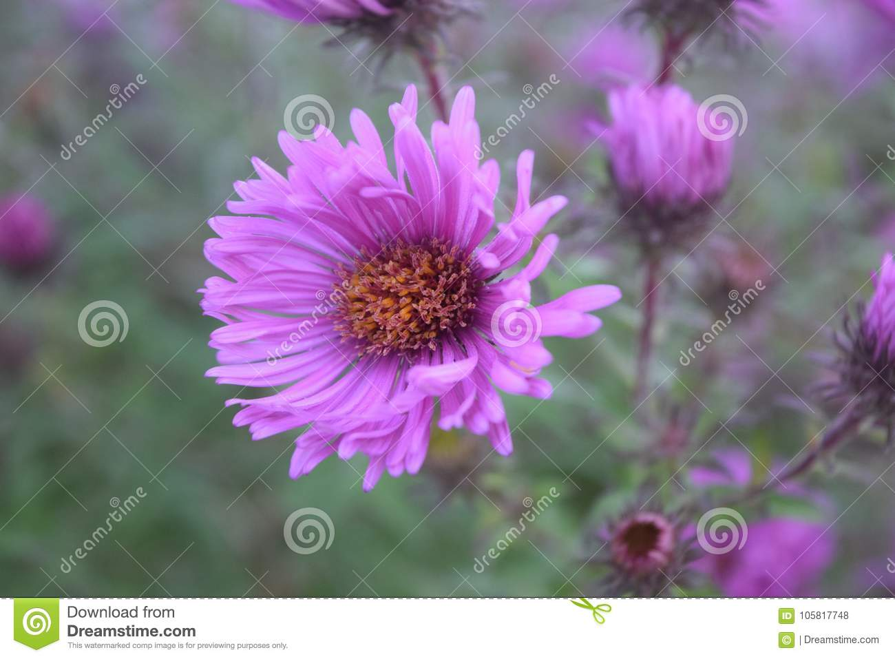 Aster flowers pink asters bloom summer to fall stock photo image download aster flowers pink asters bloom summer to fall stock photo image of park izmirmasajfo
