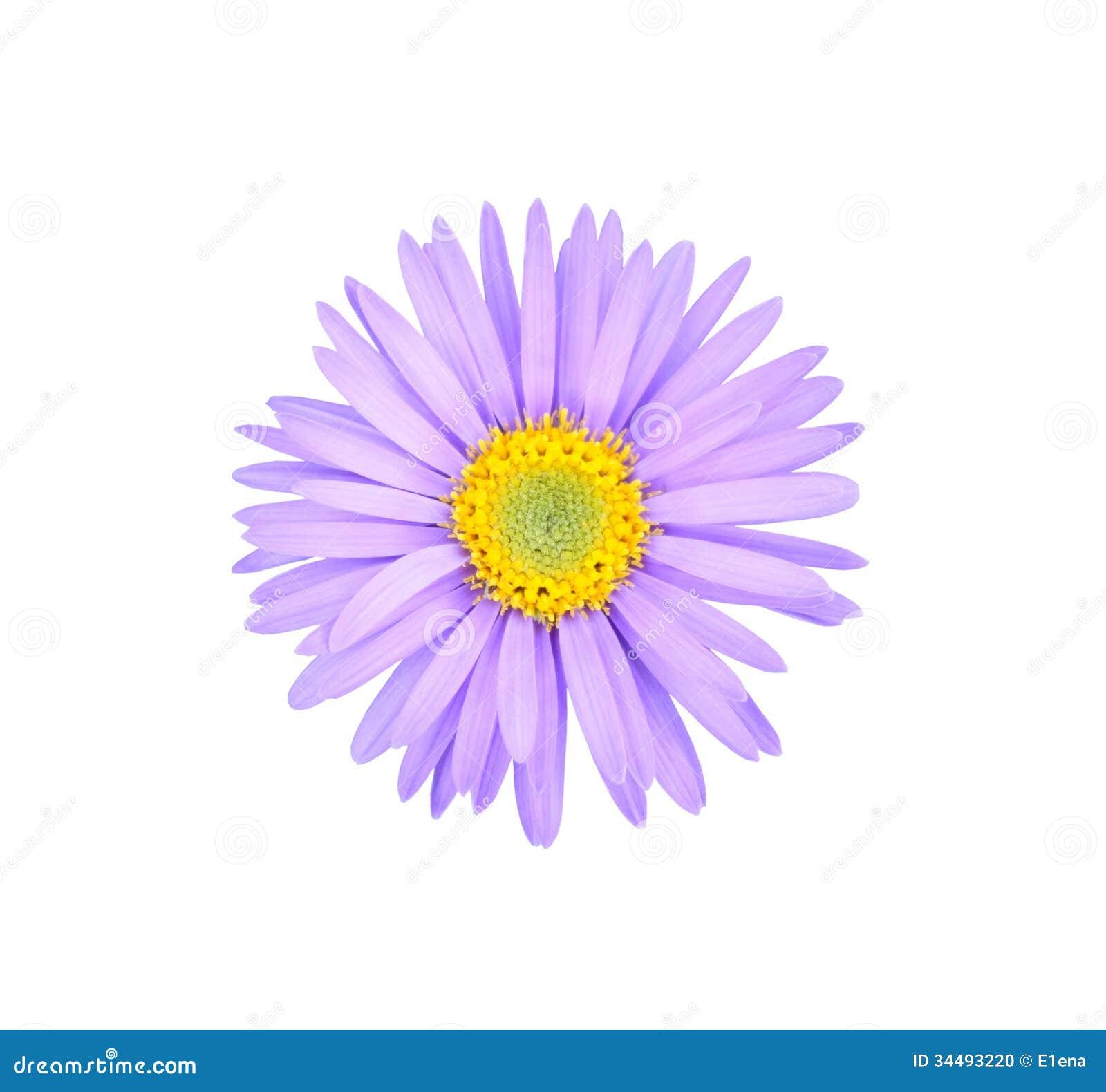 Asteru kwiat