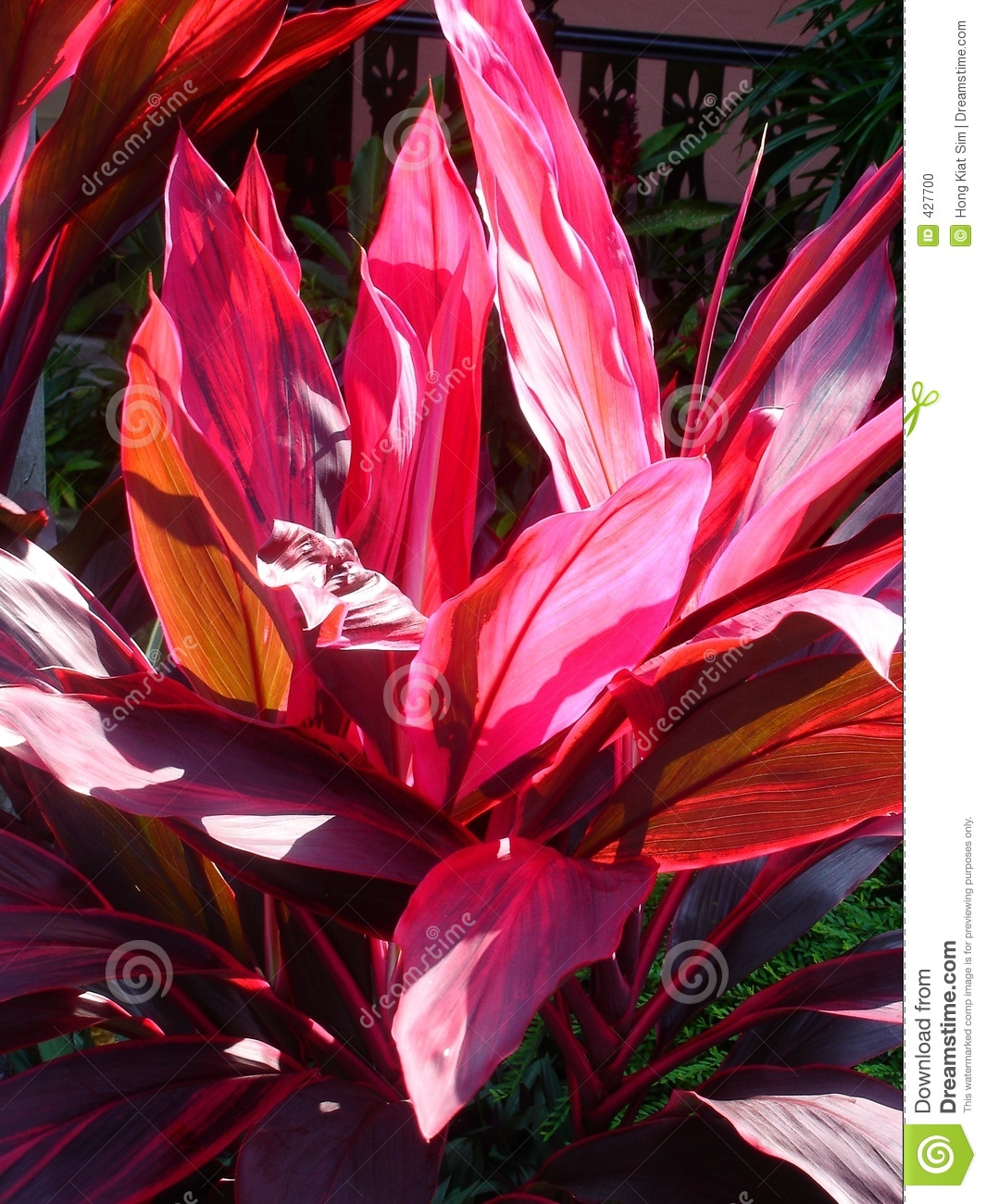 astonishing red leaves stock photo  image, Natural flower