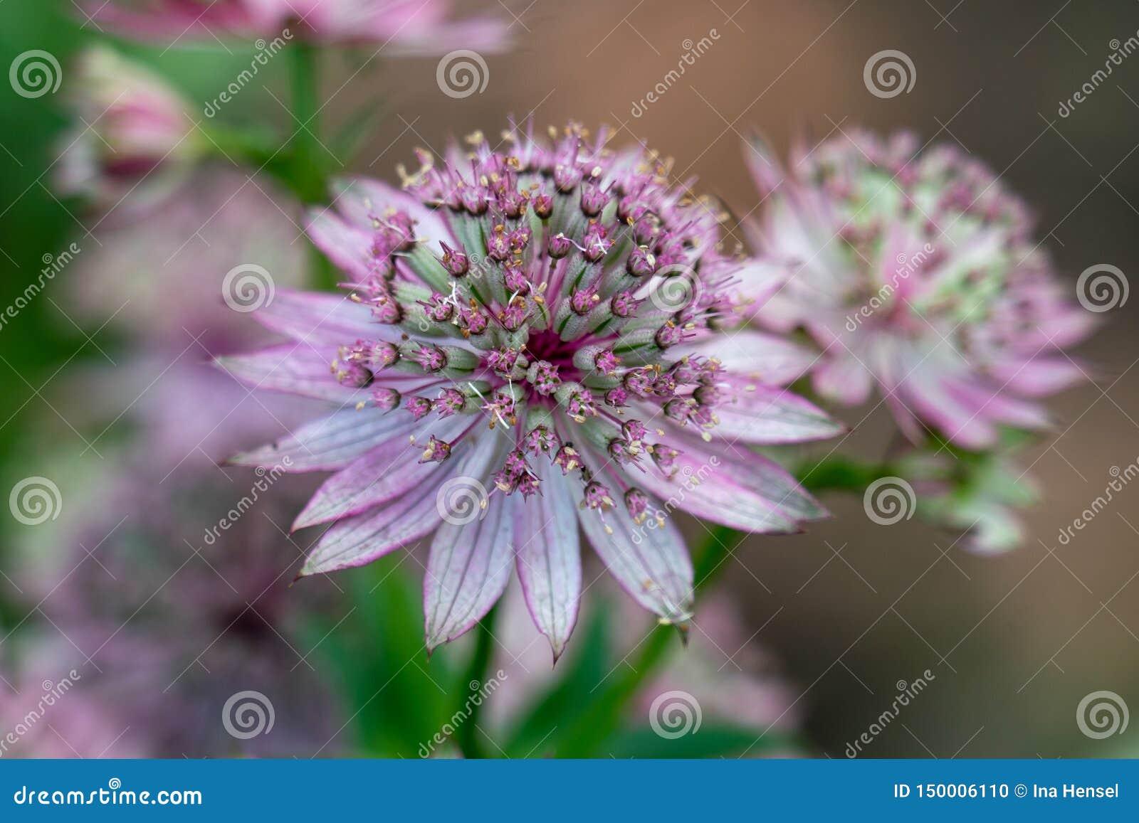 Astrantia主要陈列一朵桃红色花的宏指令象雌蕊和花粉的许多细节