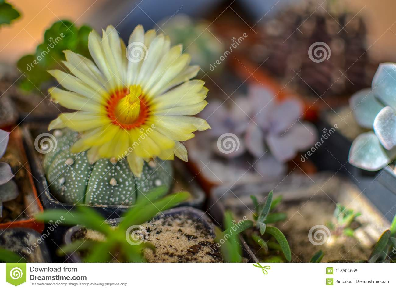 Astrophytum Asterias Cactus With Yellow Flower Stock Photo Image