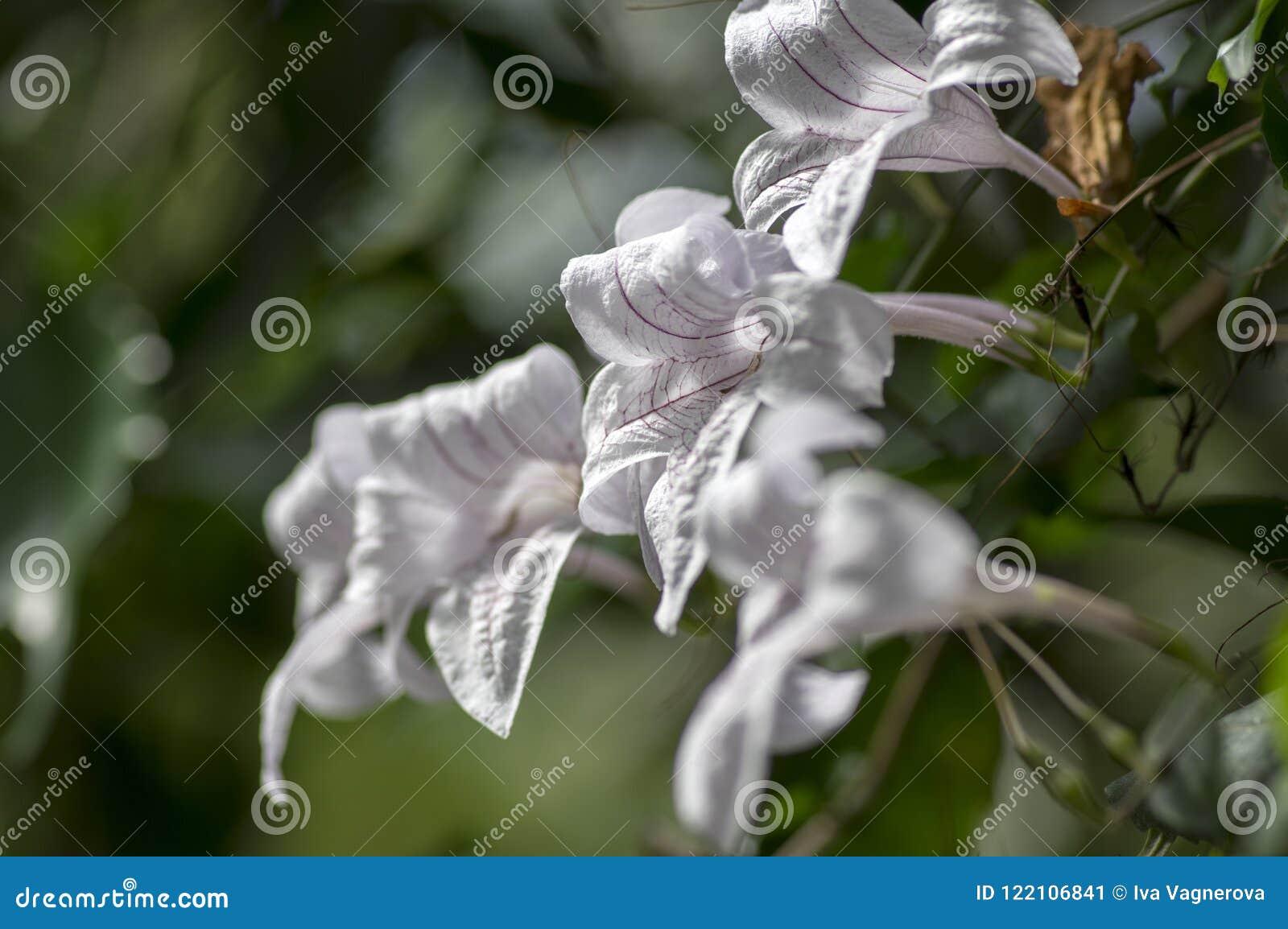 Asystasia Bella Tropical Shrub In Bloom Flowering Plant Amazing