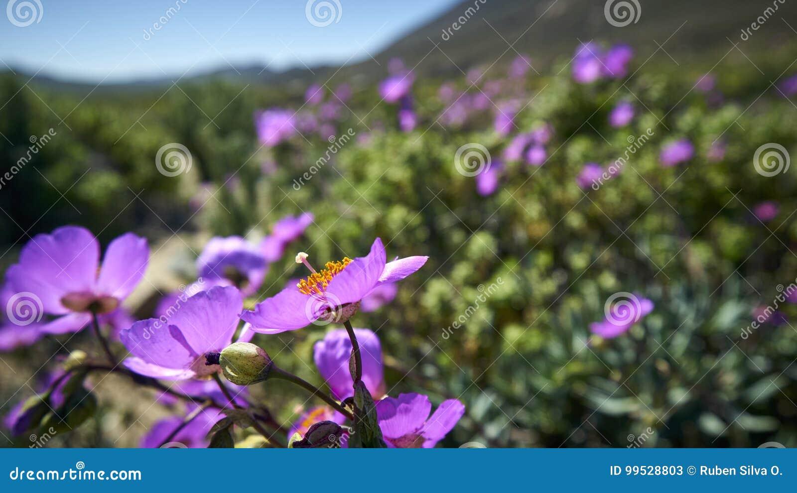 15-08-2017 Atacama Desert, Chile. Flowering Desert 2017