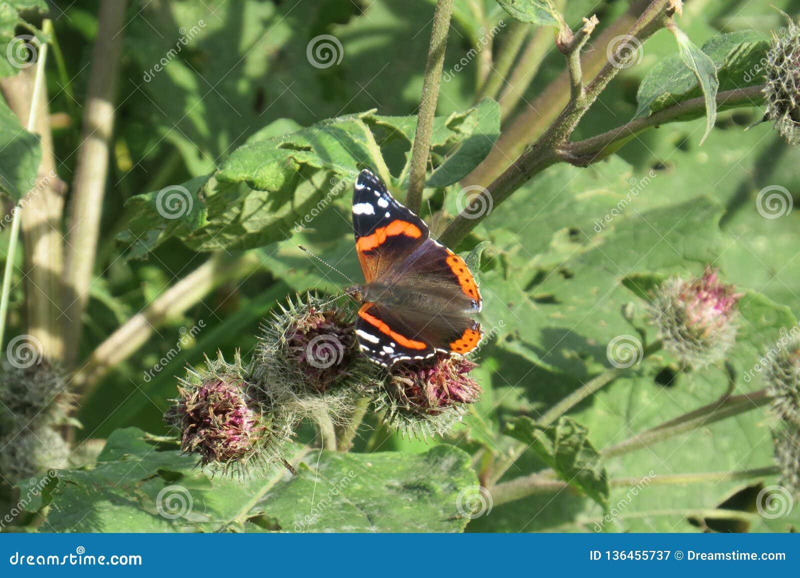 Atalanta της Vanessa - ναύαρχος πεταλούδων