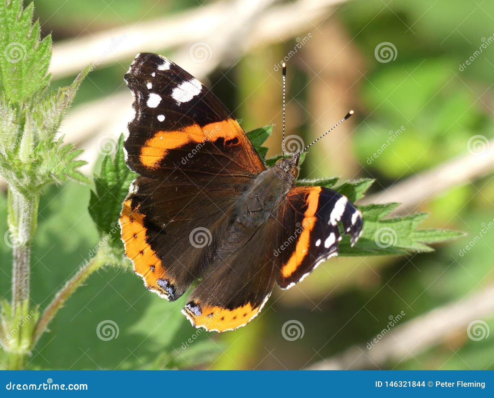 Atalanta de Vanessa da borboleta do almirante vermelho em uma folha da floresta