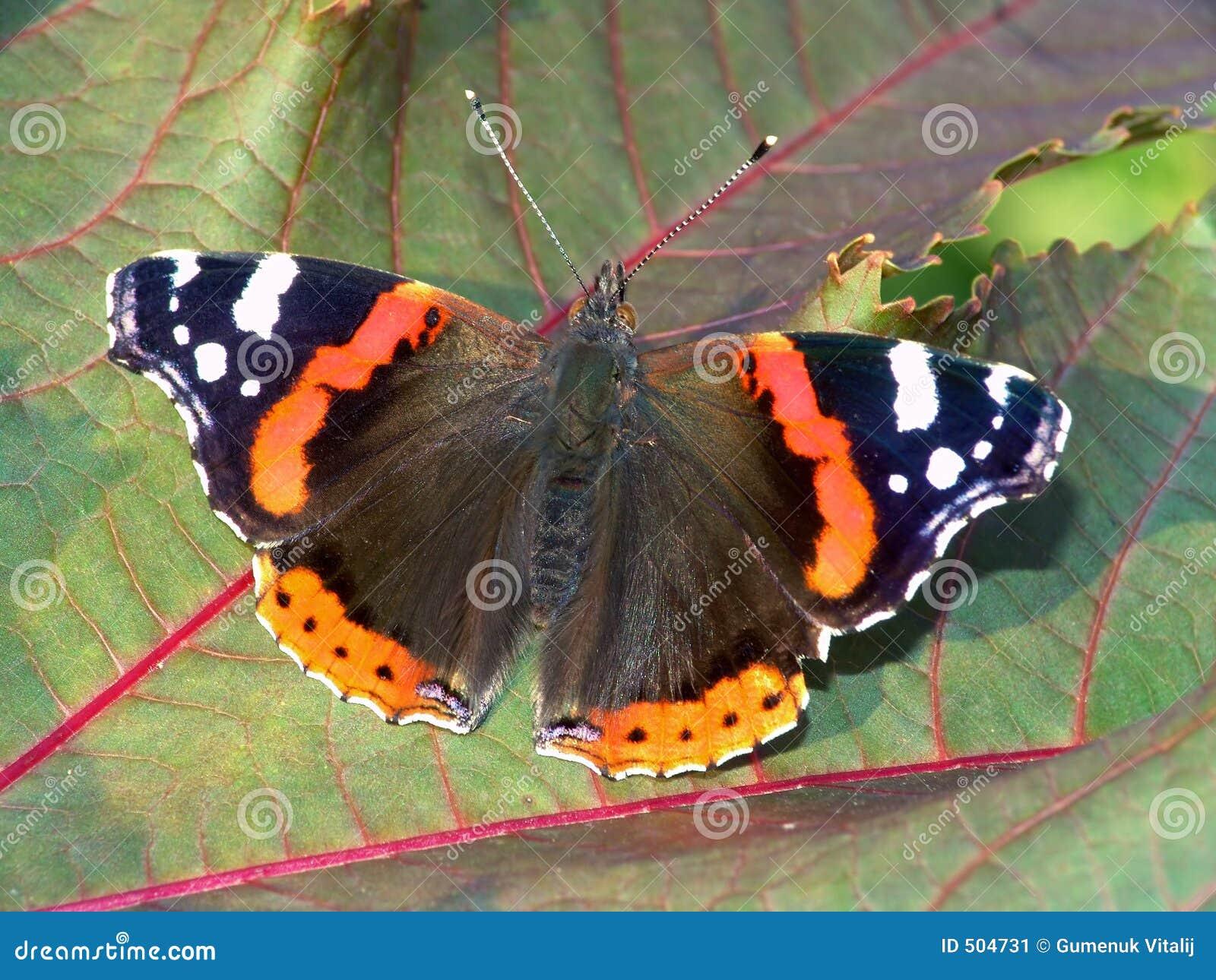 Atalanta van Vanessa van de vlinder.