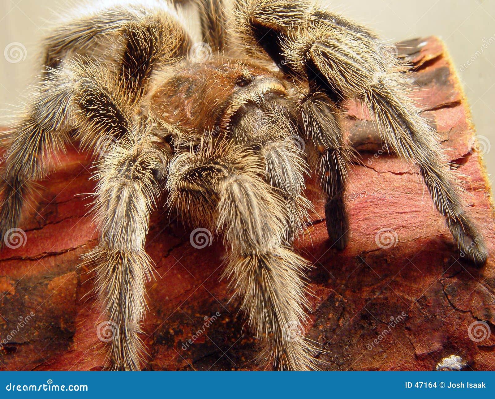 Ataque da aranha