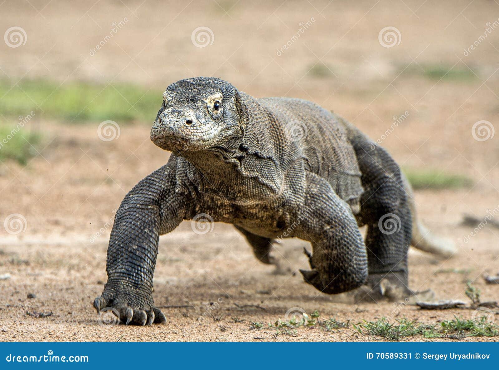 Ataque de un dragón de Komodo El dragón que corre en la arena El dragón de Komodo corriente (komodoensis del Varanus)