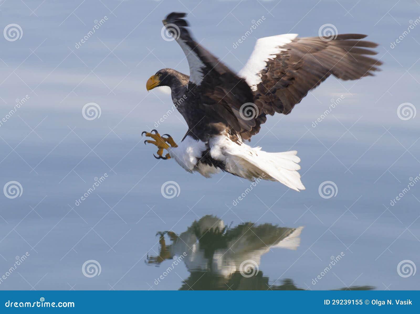 Download Ataques Da águia De Mar De Steller Imagem de Stock - Imagem de talon, inverno: 29239155