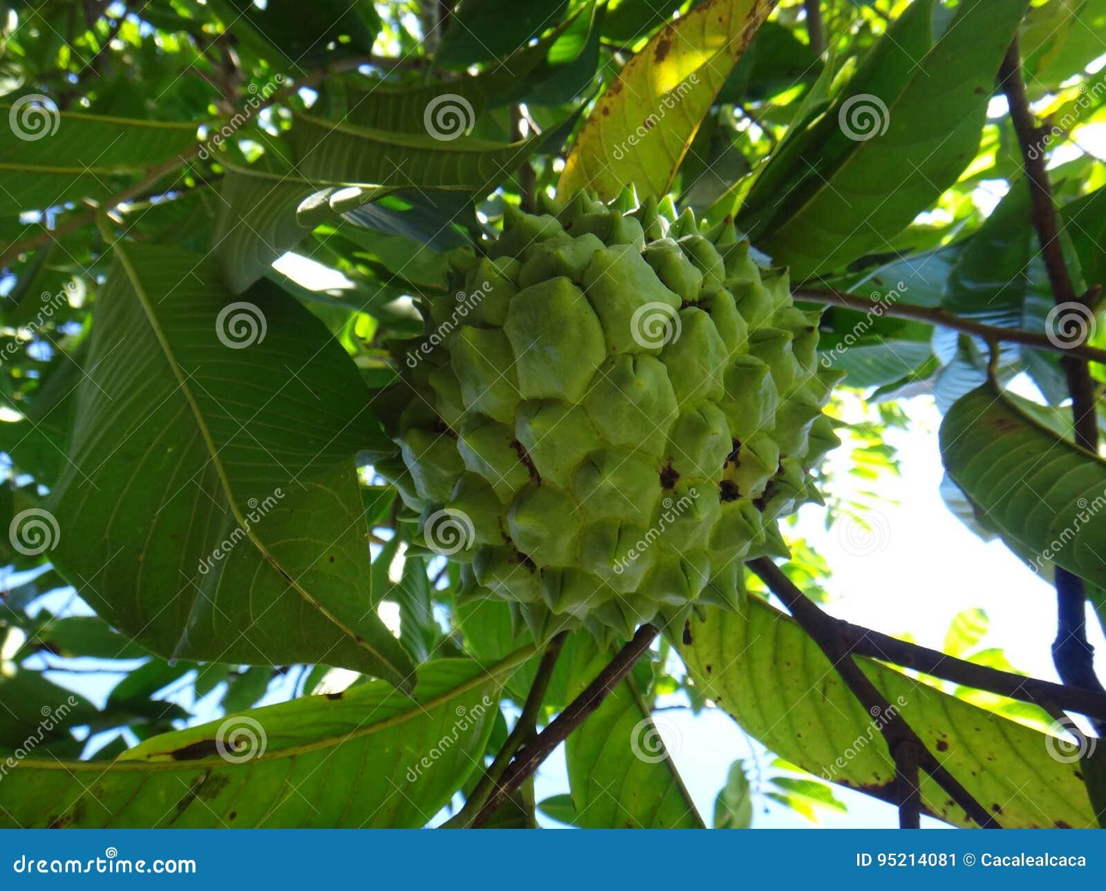 Atemoya - frukt