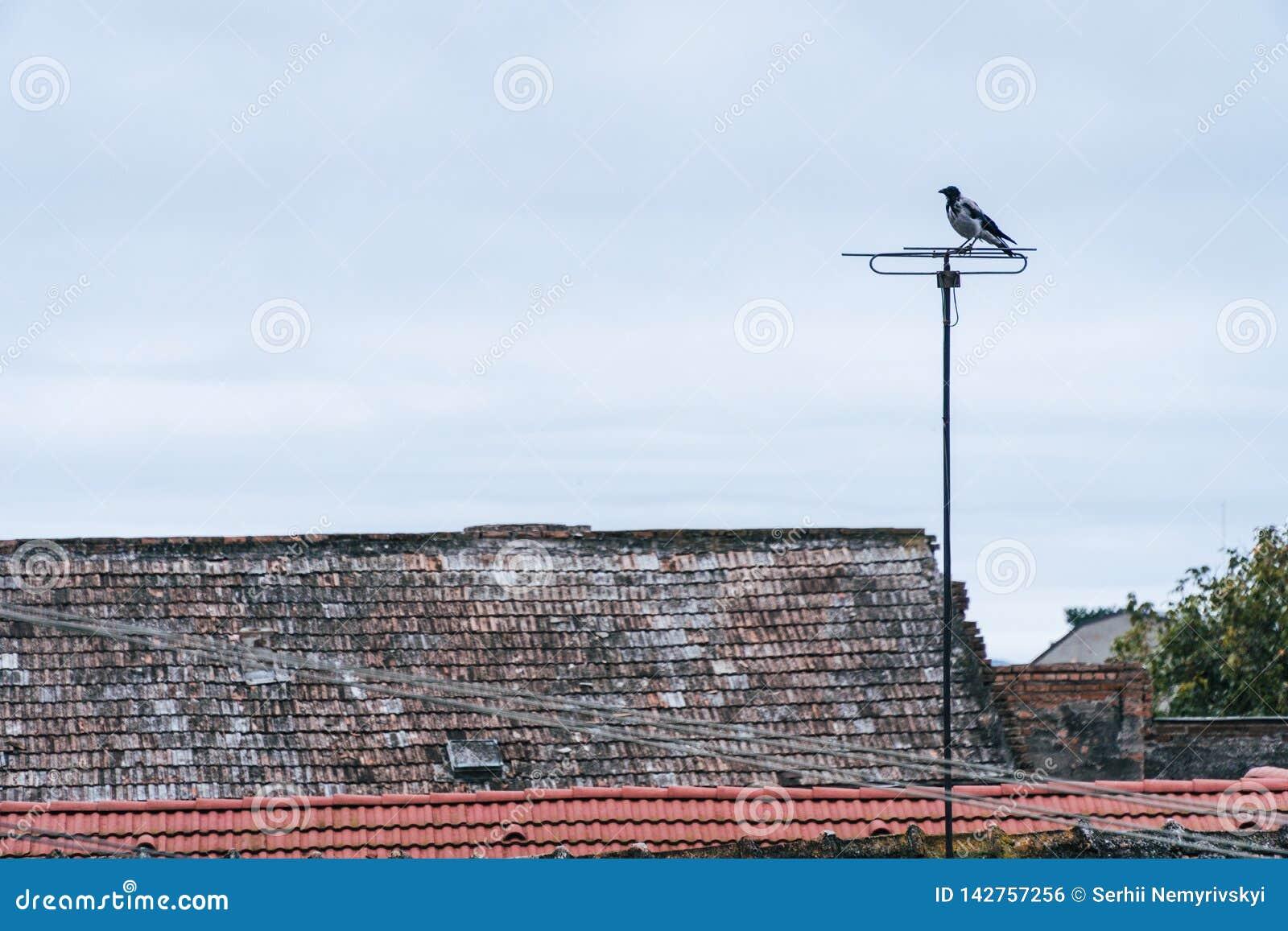 Aterrissagem do pássaro na antena residencial da tevê Este tipo da atividade é típico nas tardes onde os pássaros gostam de se se
