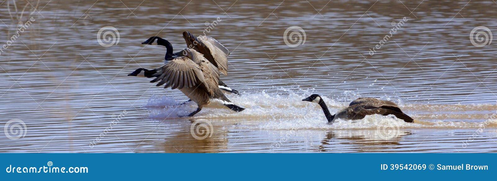 Aterrissagem dos gansos