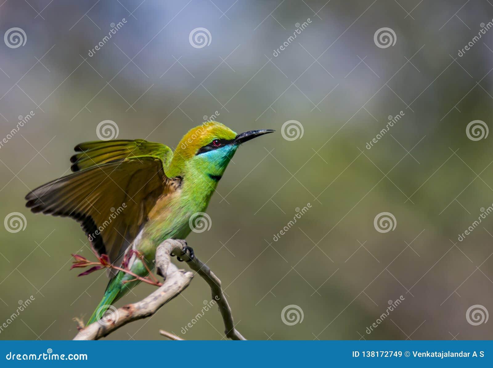 Aterrissagem: Orientalis do Merops ou o comedor de abelha verde