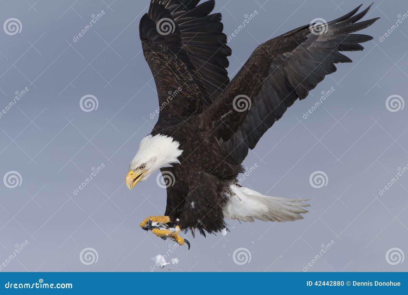Aterrizaje de Eagle calvo, Homer Alaska