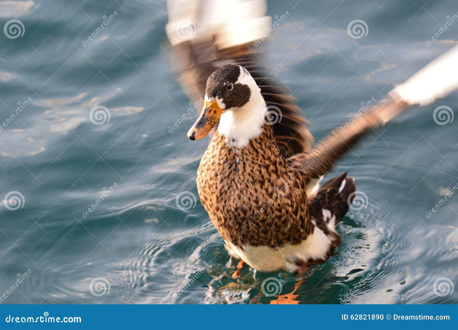 Aterrizaje del pato en el agua