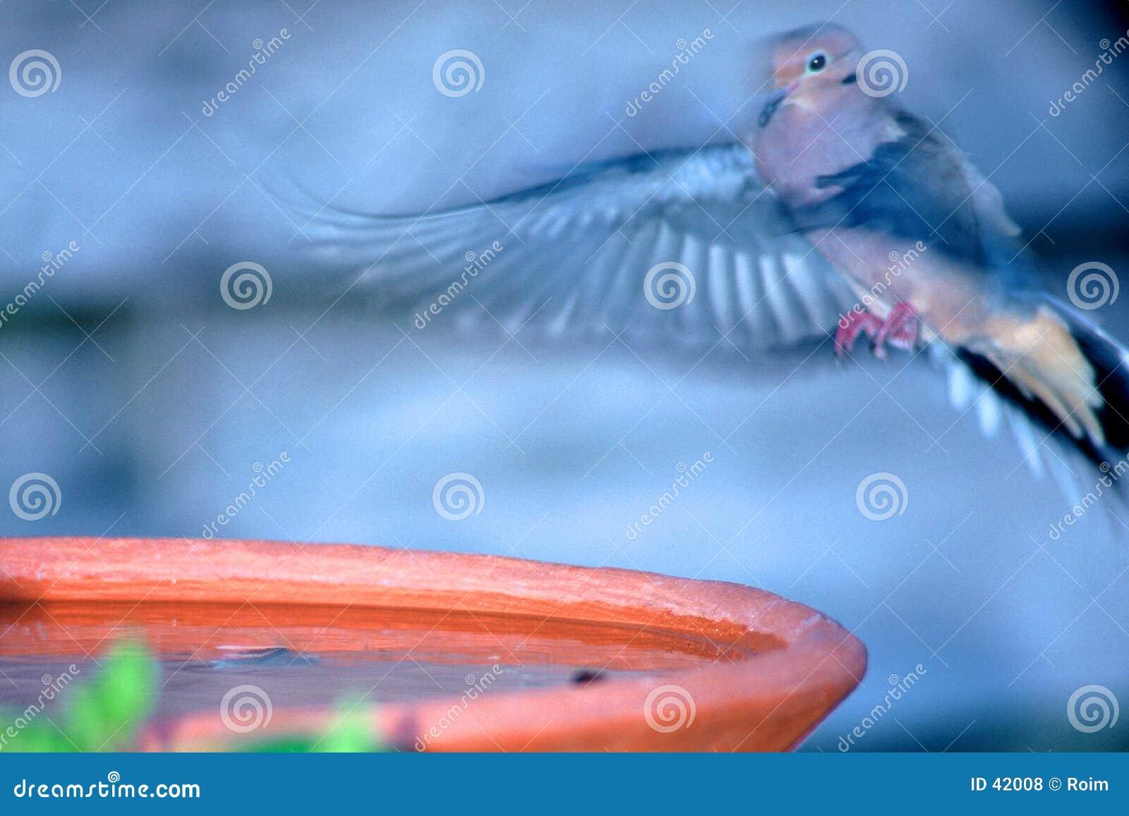 Aterrizaje en el baño del pájaro
