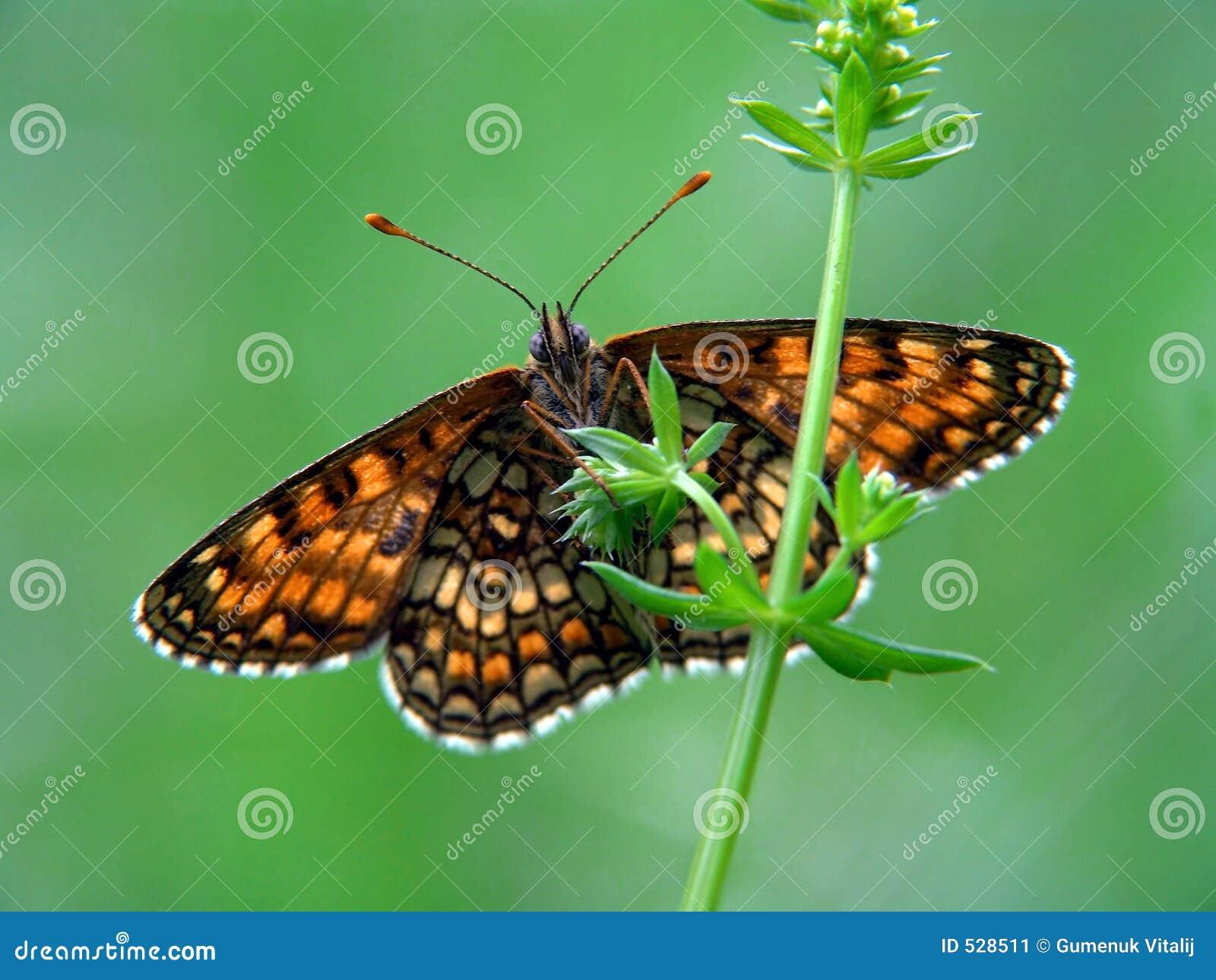 Download Athalia melitaea 库存图片. 图片 包括有 沼地, 黄色, 地点, browne, 草甸, 夏天 - 528511