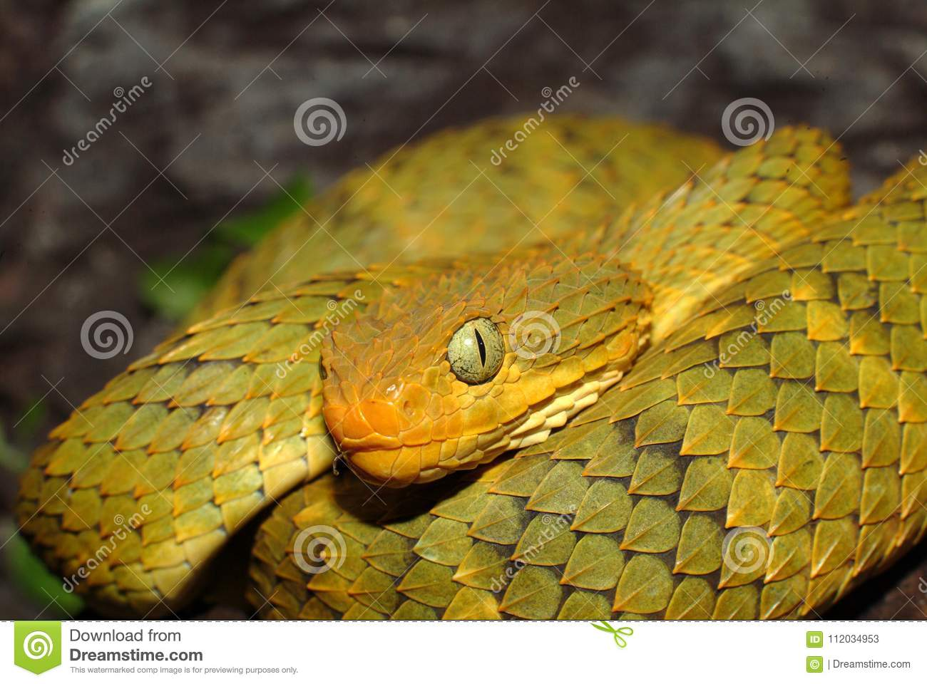 Atheris Squamigera Variable Bush Viper Stock Image - Image