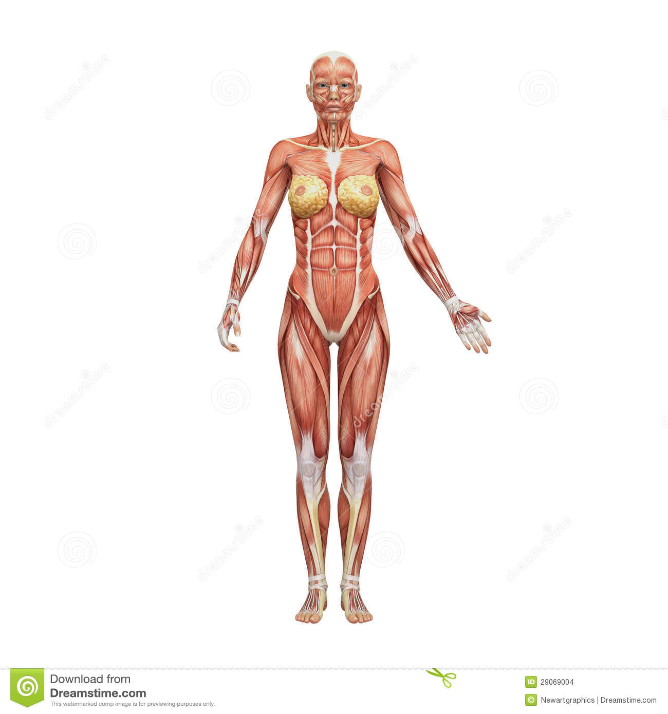 Female Human Anatomy And Muscles Stock Illustration Illustration