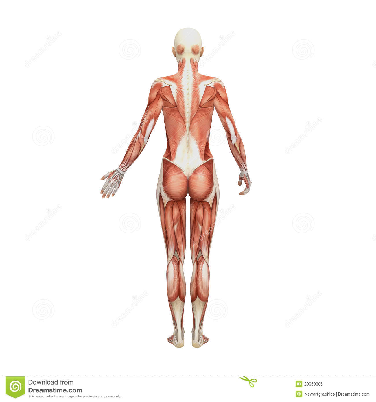 Athletic Female Human Anatomy And Muscles Stock Illustration