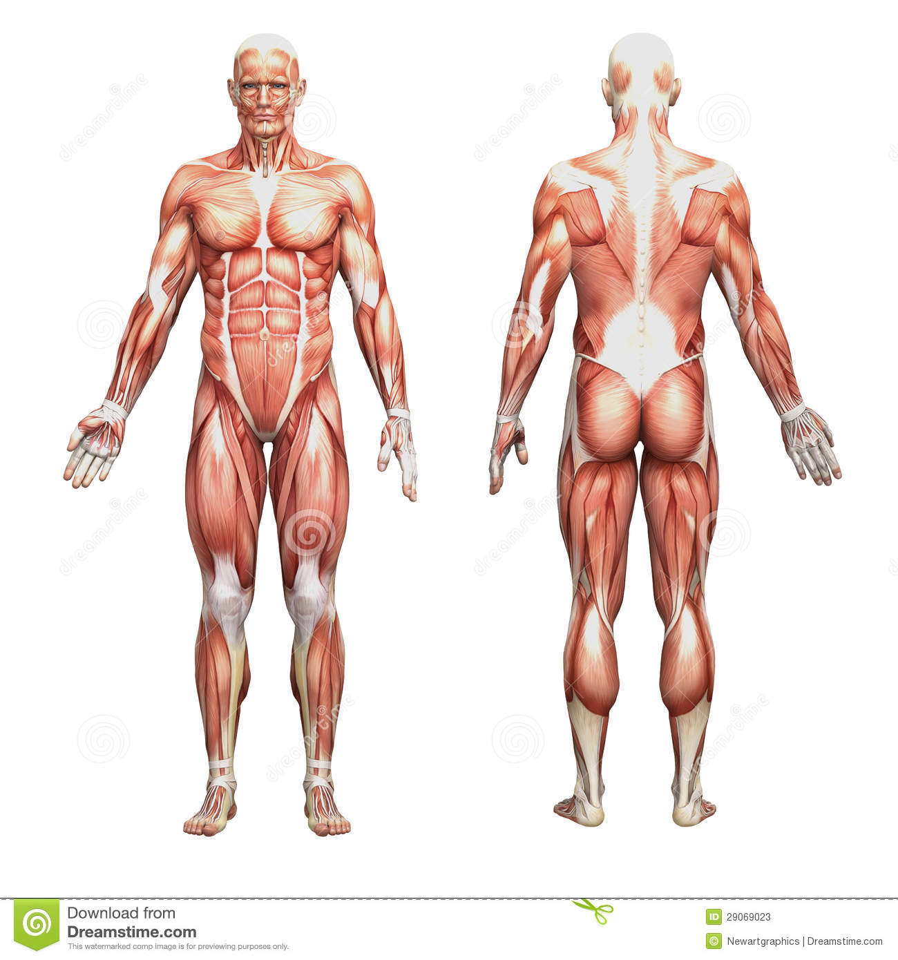 Athletic male human anatomy