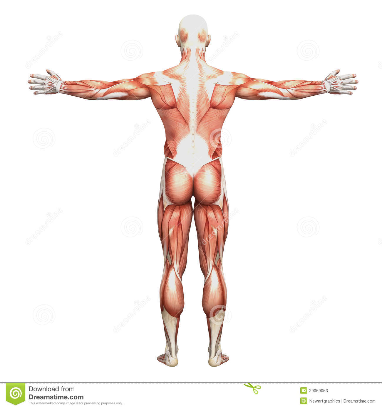 Athletic Male Human Anatomy And Muscles Stock Illustration
