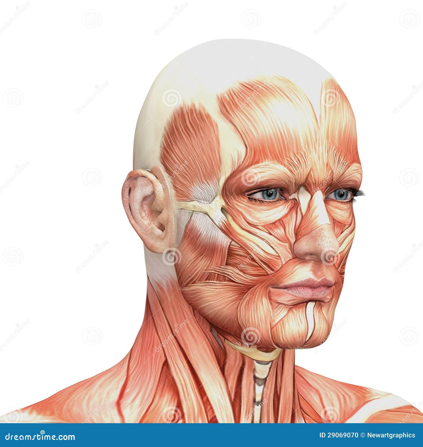 Facial anatomy diagram