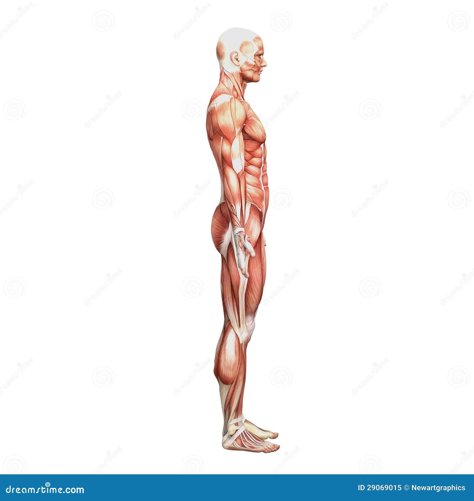 Wunderbar Muskel Skelett Anatomie Malbuch Fotos - Malvorlagen Von ...