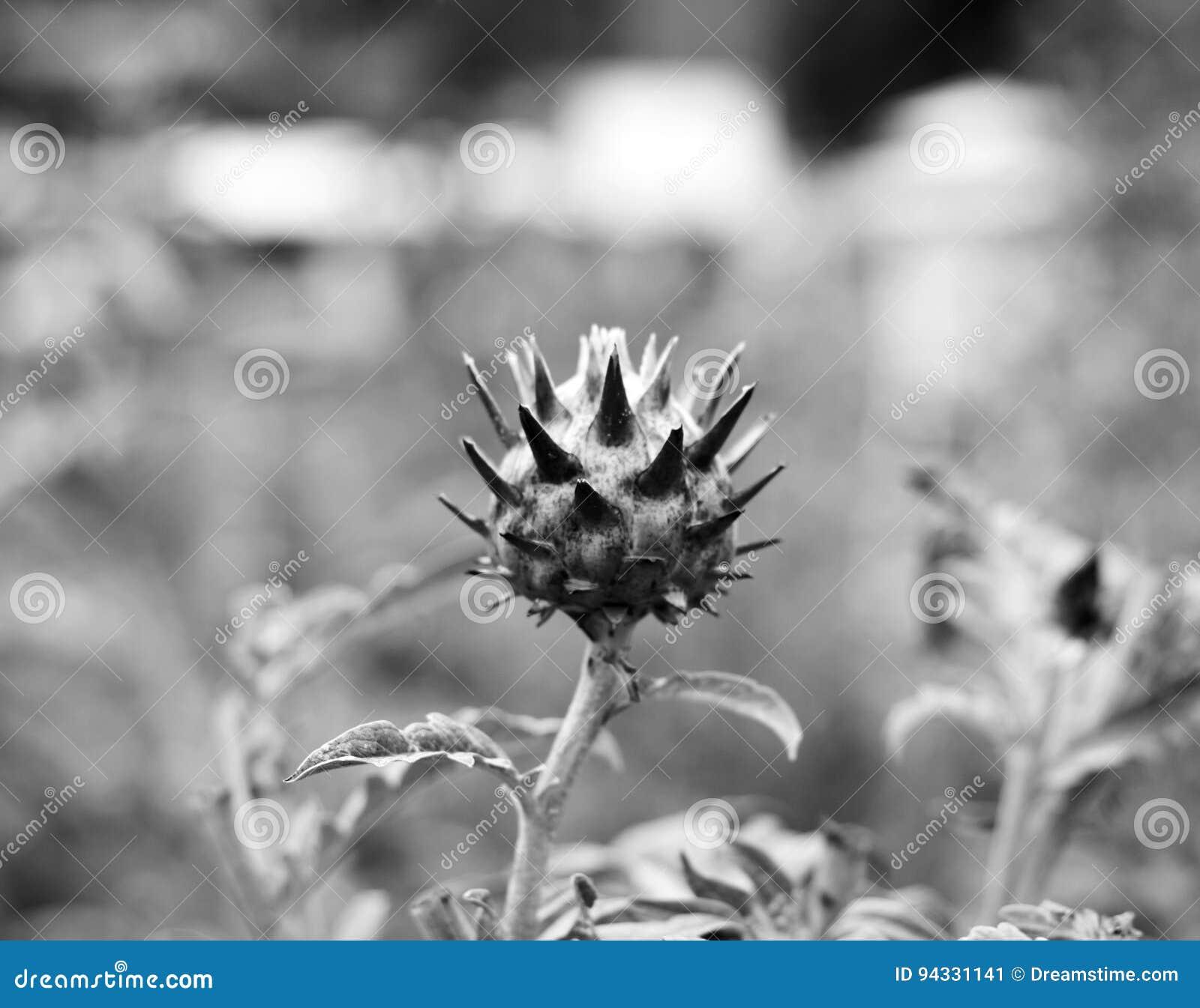 atiso flower stock image image of vietnam flower beacause 94331141