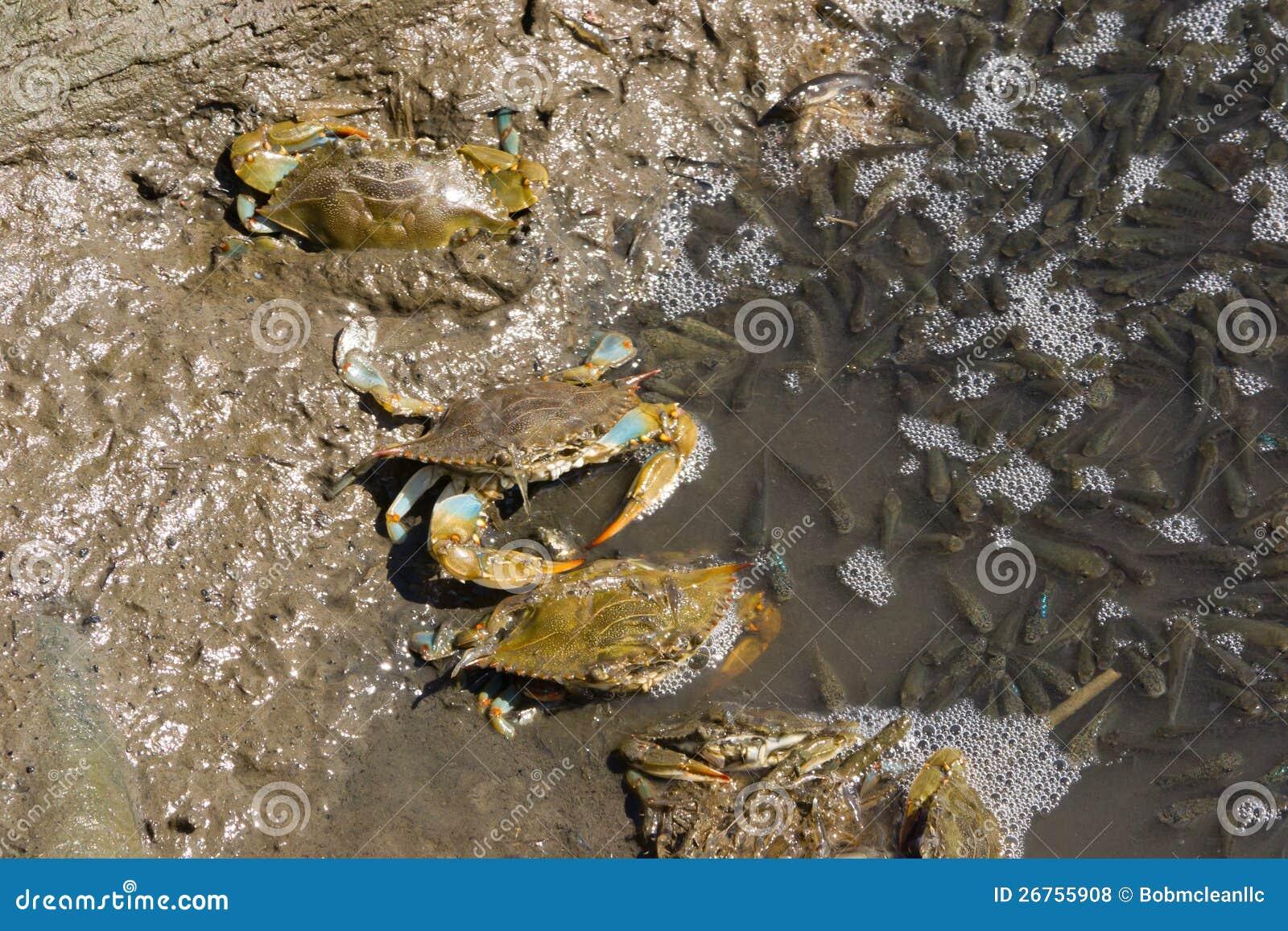 Atlantic blue crabs fishing royalty free stock photos for Blue crab fishing