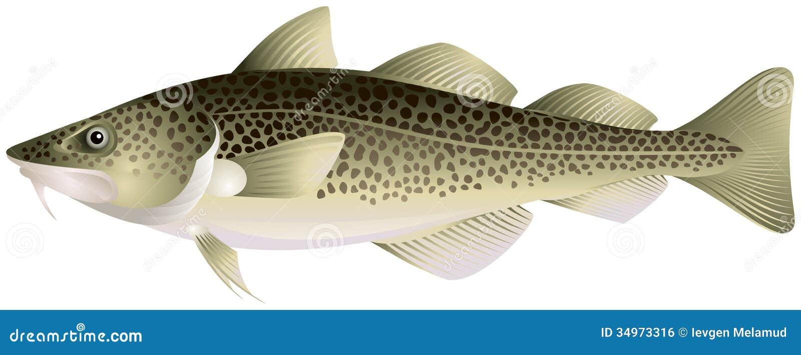 Atlantic cod royalty free stock image image 34973316 for Atlantic cod fish