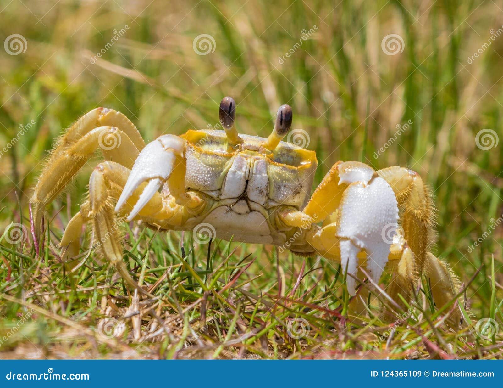 Atlantic Ghost Crab