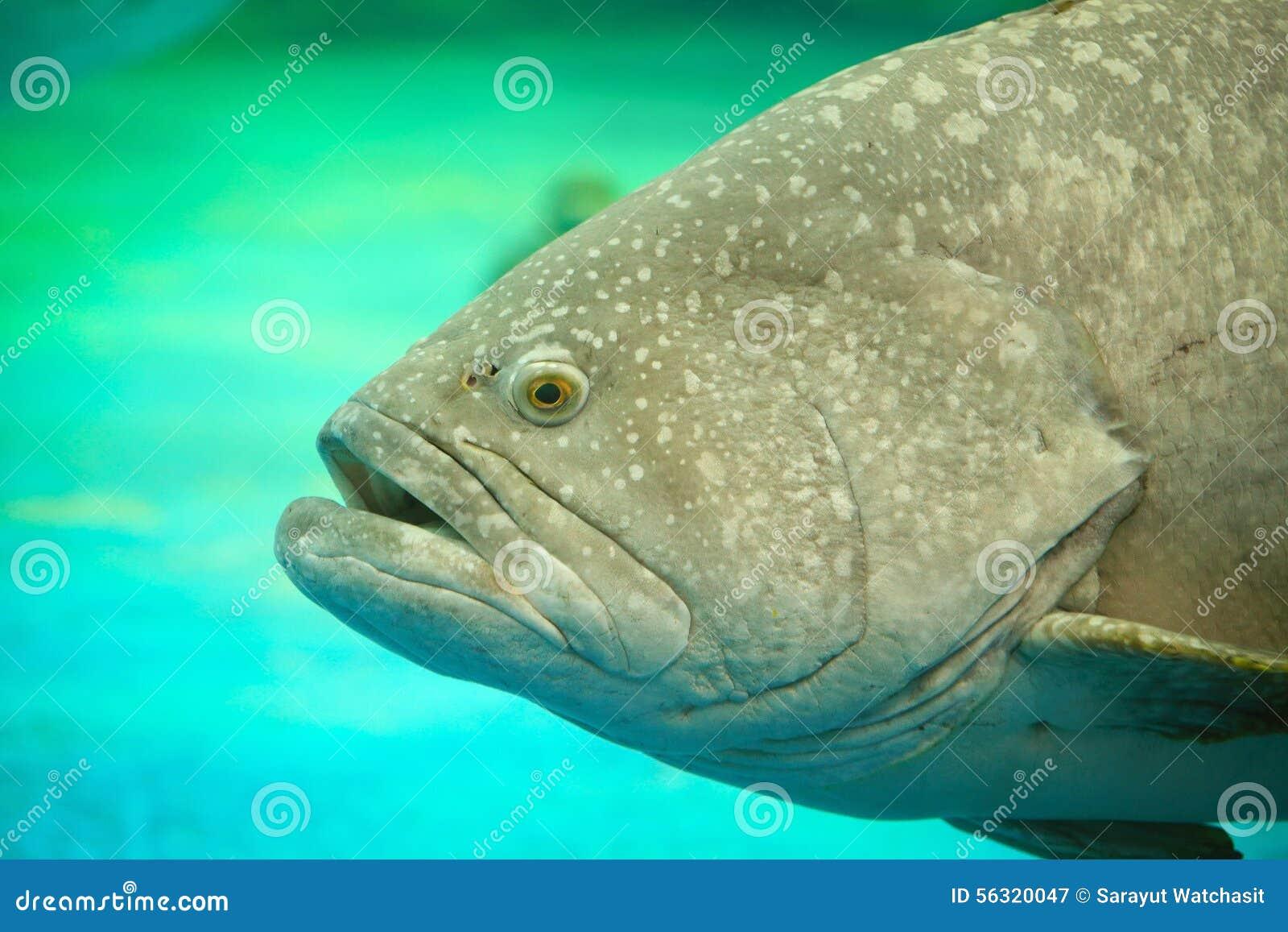 Atlantic Goliath Grouper Stock Image Image Of Artificial 56320047