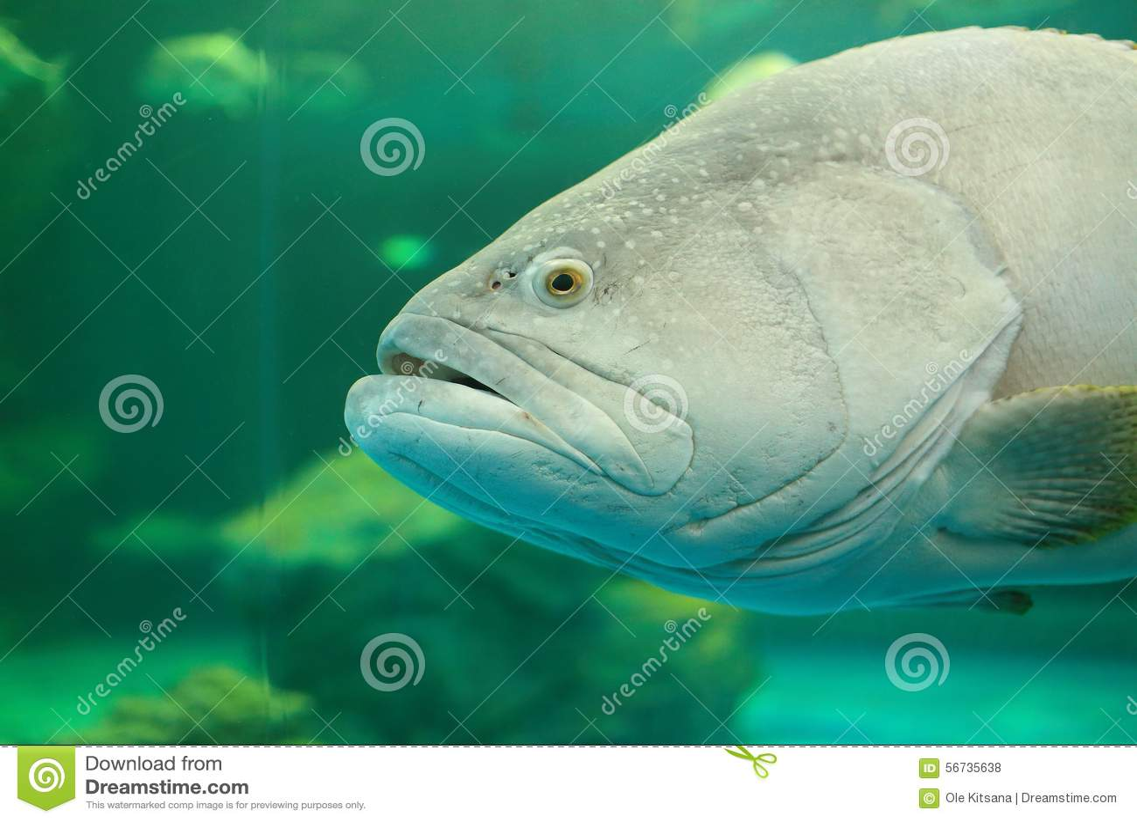 Atlantic Goliath Grouper Stock Photo Image Of Swamps 56735638