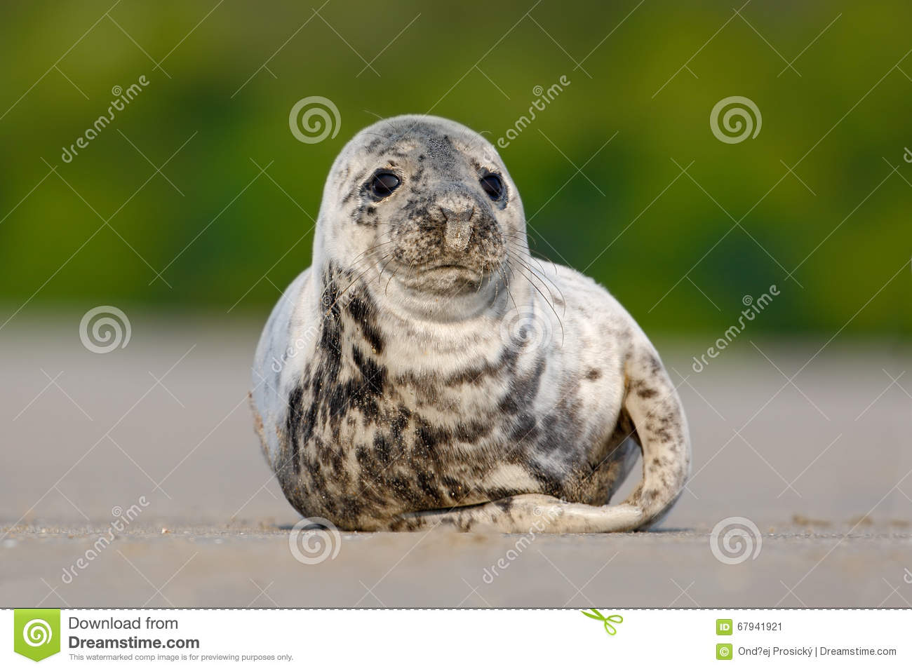 Atlantic Grey Seal, Halichoerus grypus, detail portrait, at the beach of Helgoland, Germany