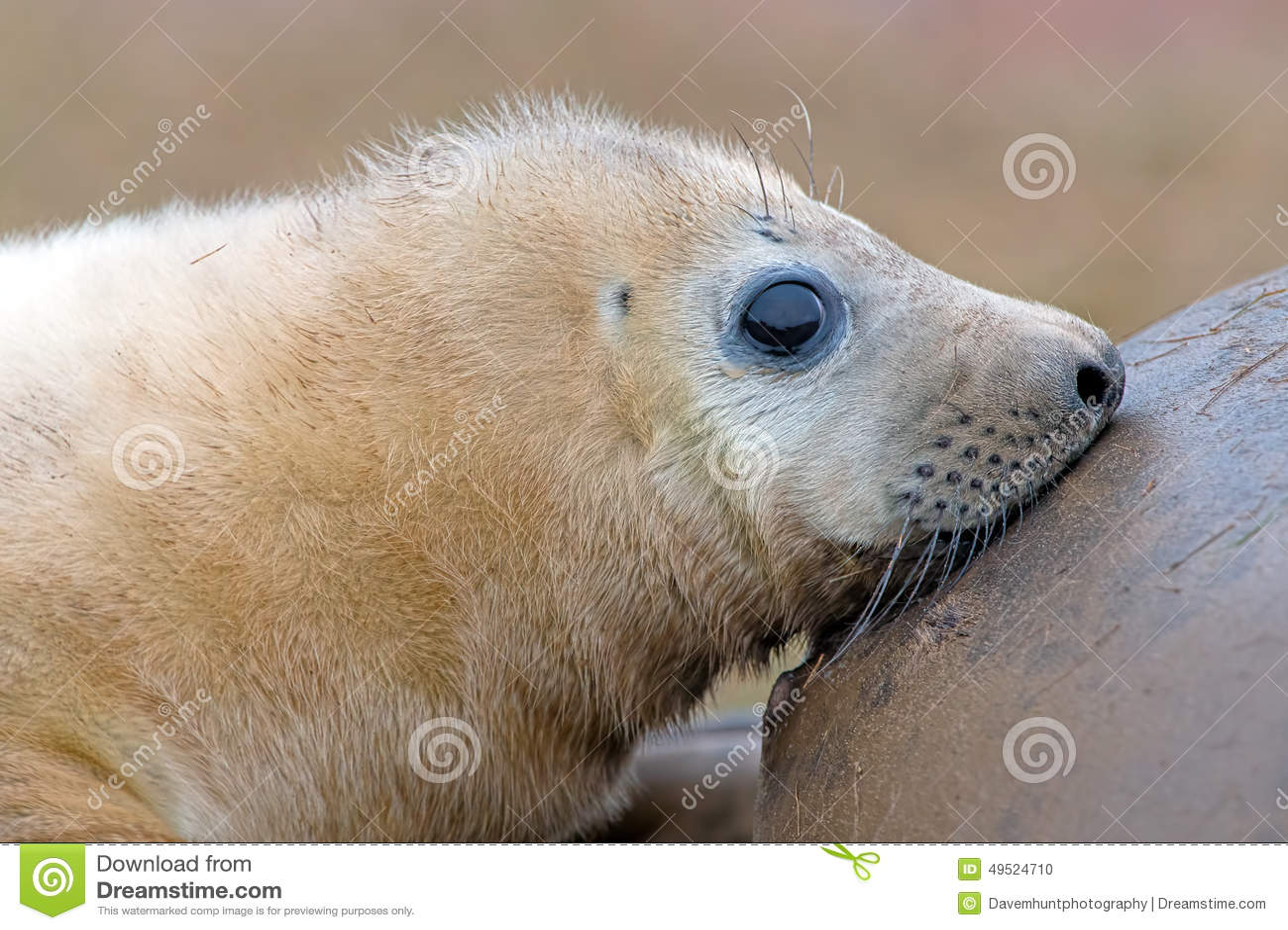 Atlantic Grey Seal Pup (halichoerus grypus)