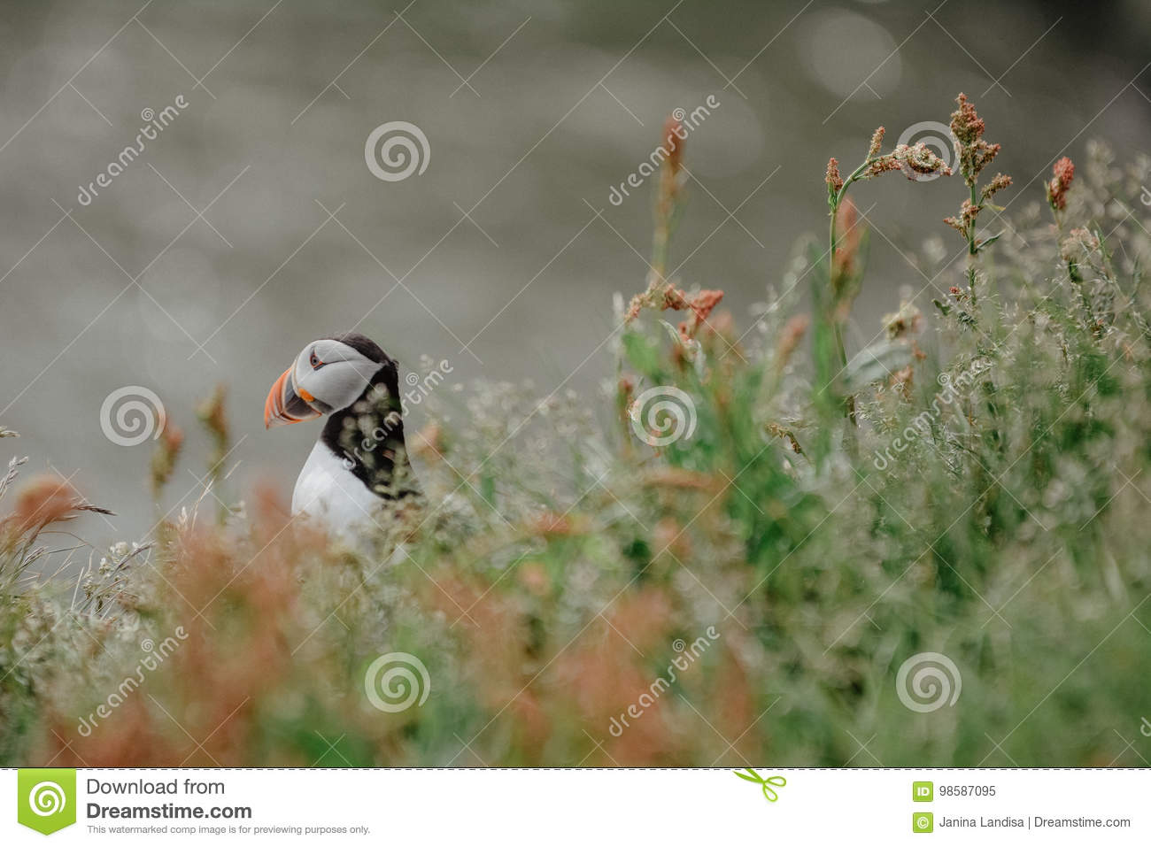 Atlantic puffin Fratercula arctica near Dyrholaey in Iceland