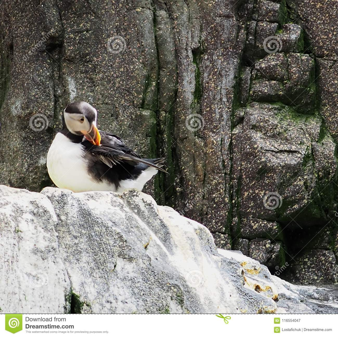 Atlantic Puffin Or Fratercula Arctica
