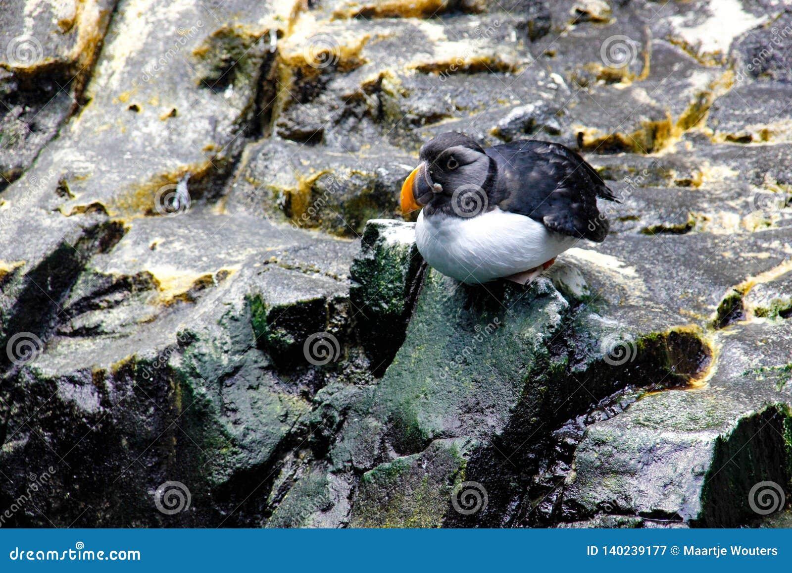 Atlantic puffin sitting on rocks