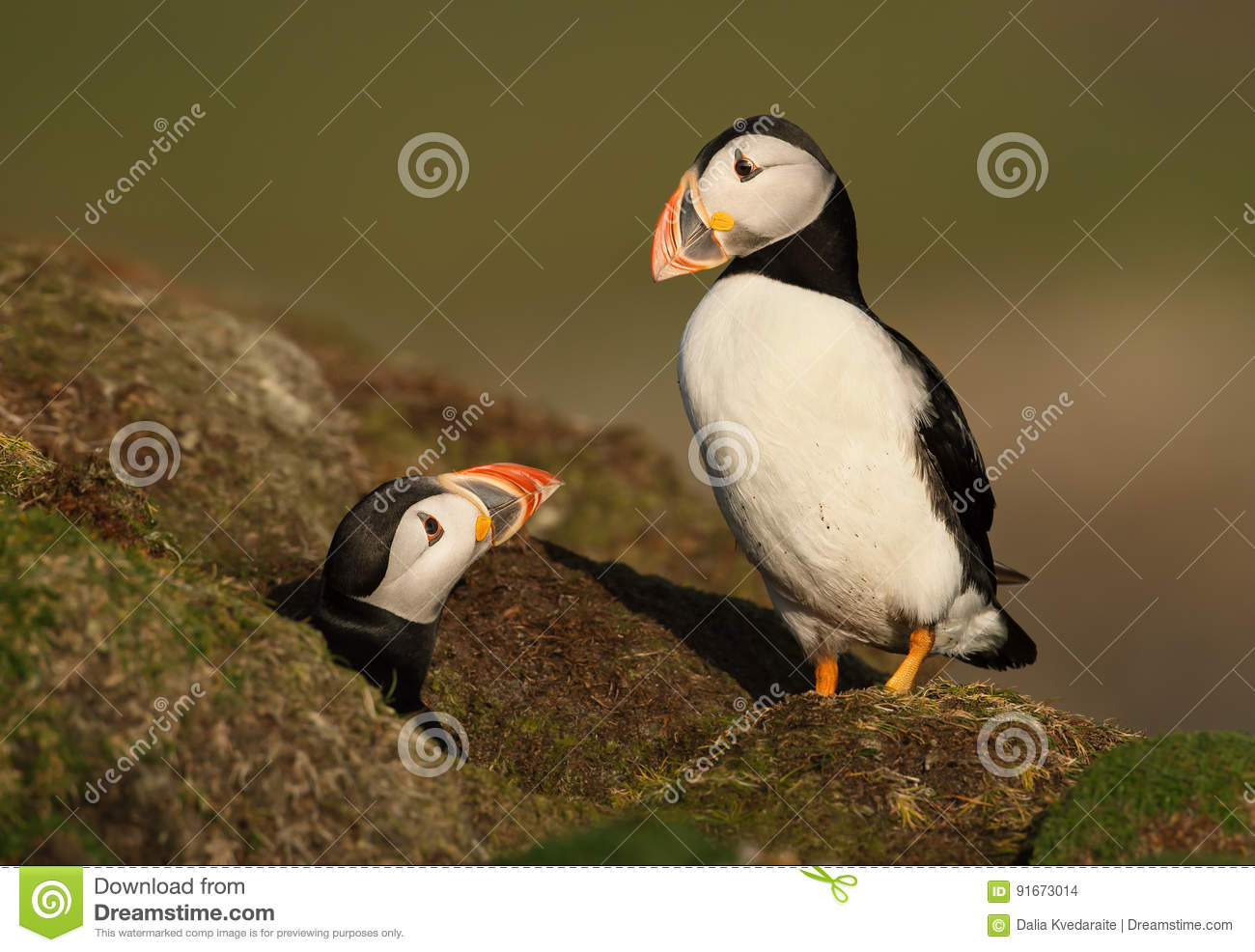 Atlantic Puffins close to the nest
