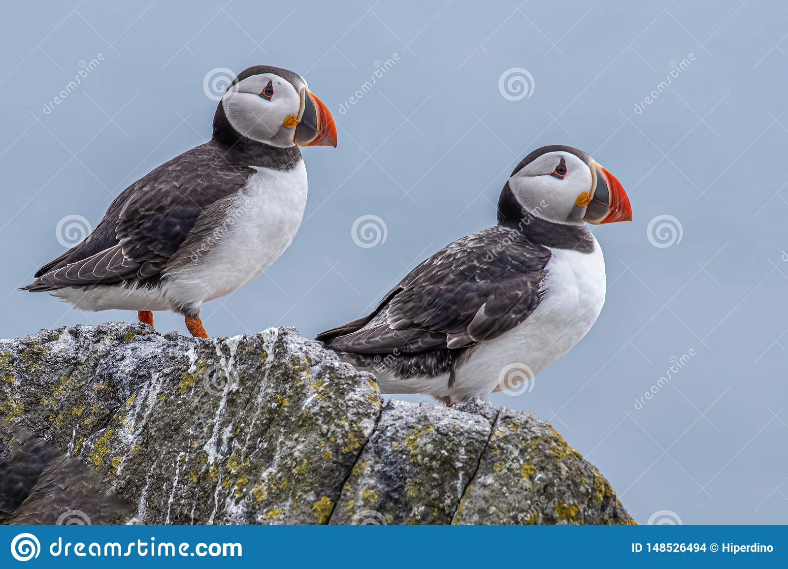Atlantic Puffins Fratercula arctica, standing on the cliff at Isle of May