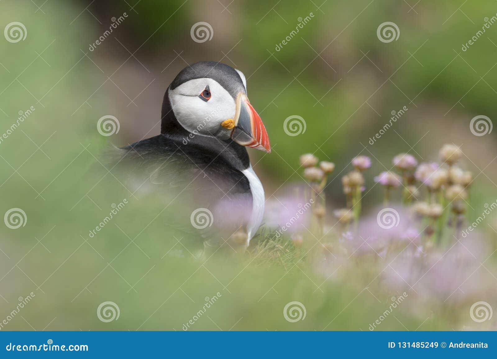 Atlantische arcticavolwassene van Papegaaiduikerfratercula, met het bloeien overzeese zuinigheid