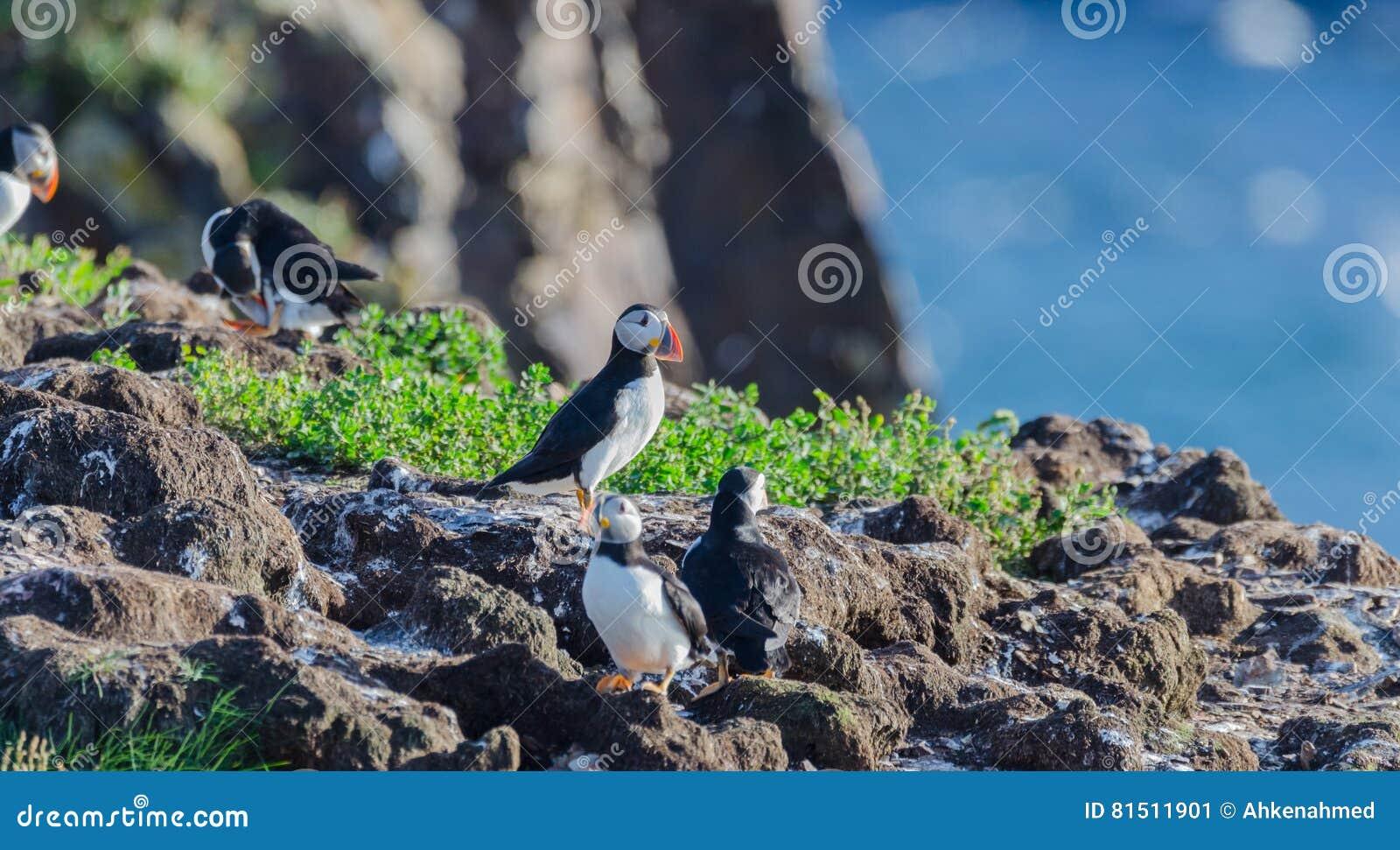 Atlantische Papageientaucher Fratercula arctica auf Vogelinsel in Elliston, Neufundland