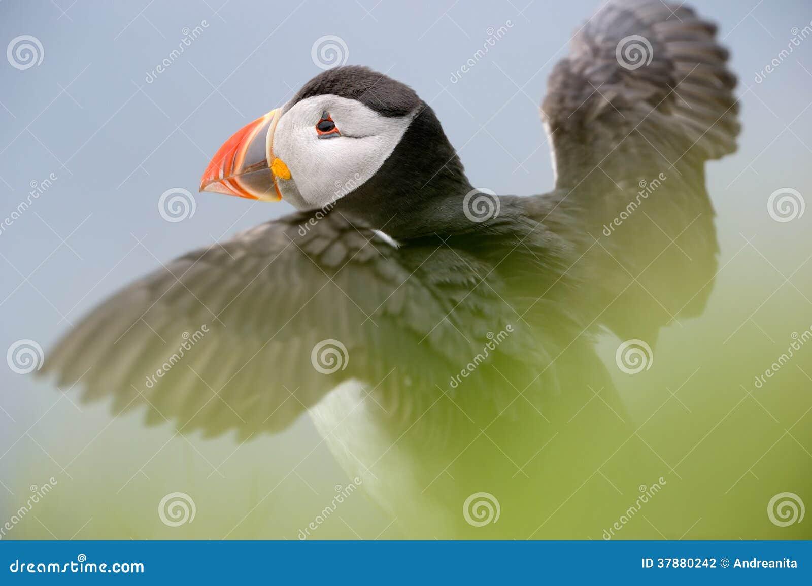 Atlantische papegaaiduiker