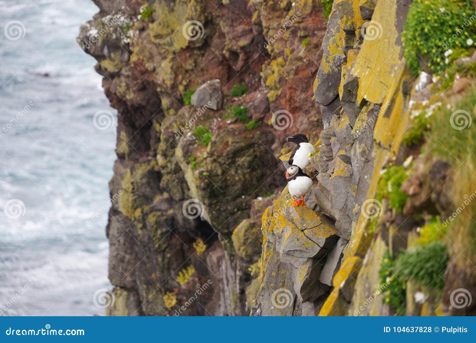 Download Atlantische Papegaaiduiker En Gemeenschappelijke Zeekoet Bij Latrabjarg-klippen, Icel Stock Foto - Afbeelding bestaande uit kleur, mooi: 104637828