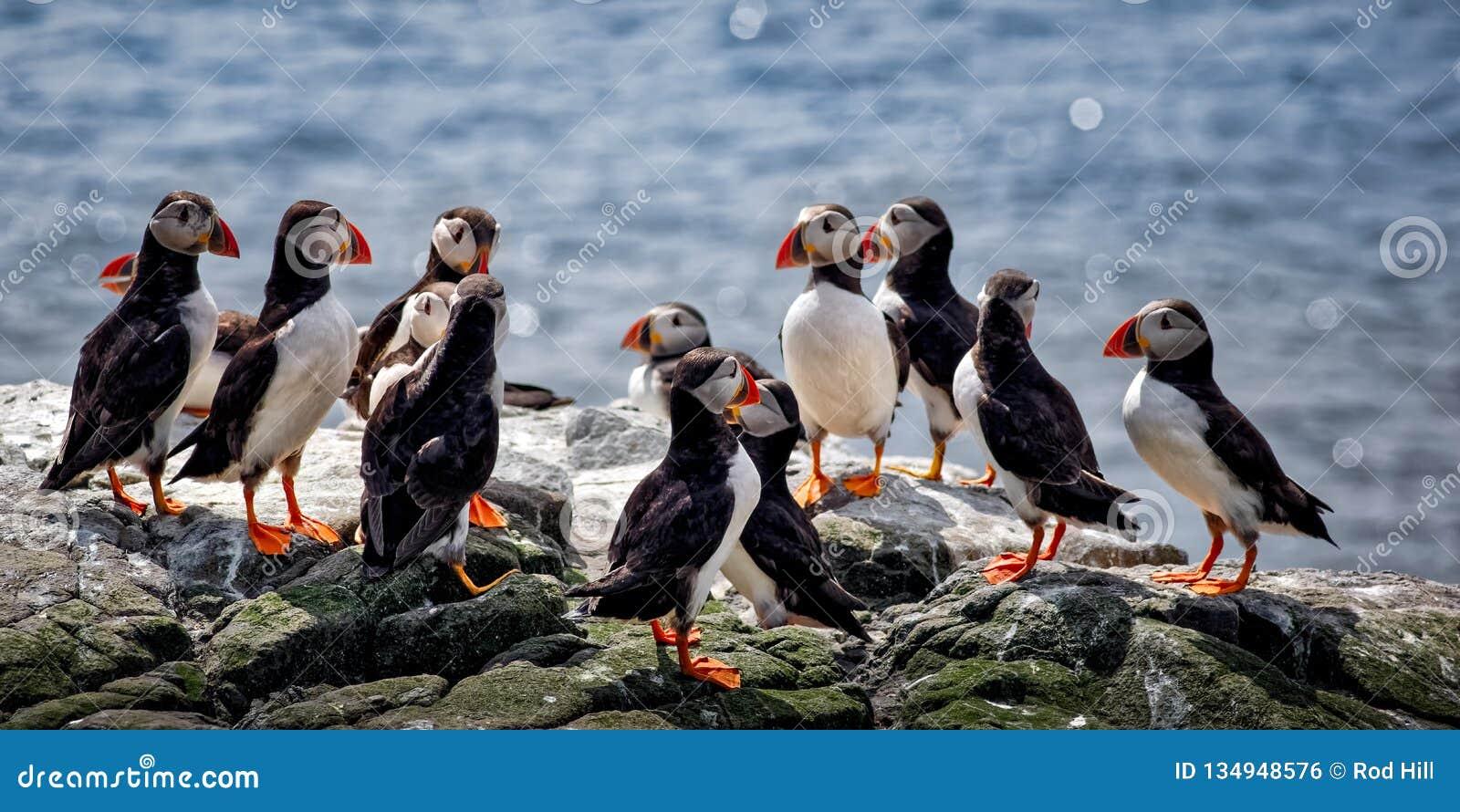 Atlantische Papegaaiduiker, Fratercula-arctica die een groep op Sea Cliff vormen